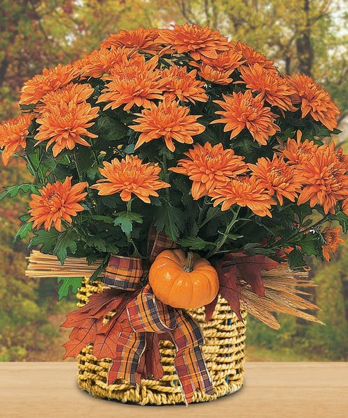 Fall Cushion Mum