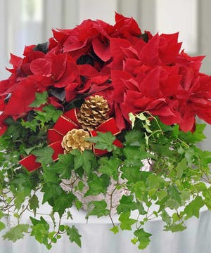 For a holiday gift that will be remembered for years to come, consider sending our popular Poinsettia and Ivy Garden Basket, complemented with pine cones.