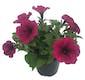 Patio Flowers Petunias 4