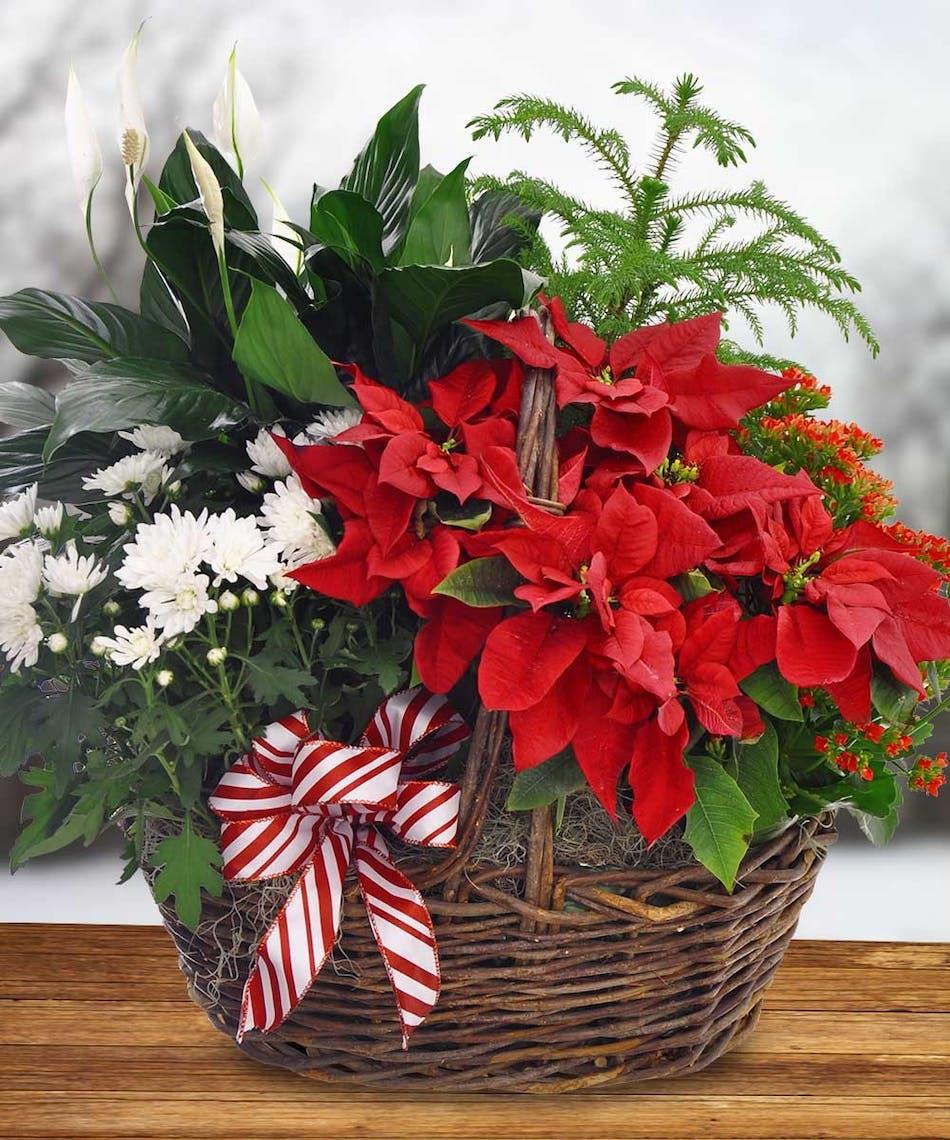 Blooming Poinsettia Basket Holiday Christmas Boesen Florist